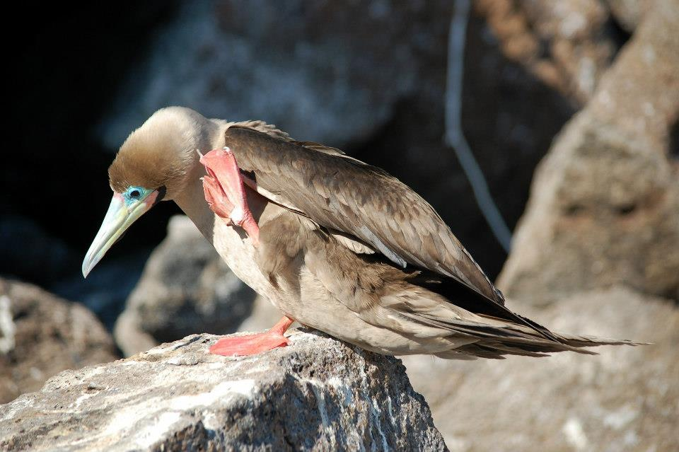 Picture 4 - Red footed booby