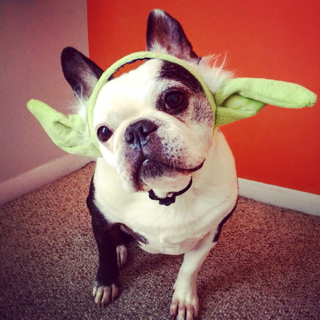 Yoda dog & Pets in Star Wars Costumes Are the Best | StarWars.com